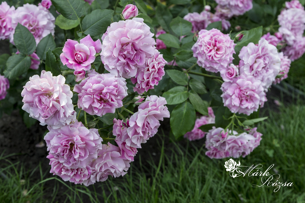 Árpád-házi Szent Erzsébet rózsa